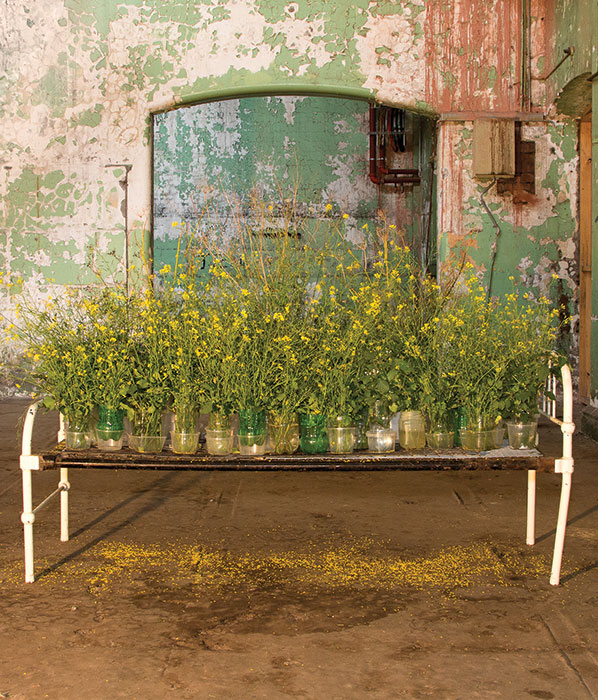 Lauren BERKOWITZ 'Weeds and wildflowers' 2014 | Medicinal and edible wild cabbage, fennel and blackberry nightshade | Courtesy of the artist